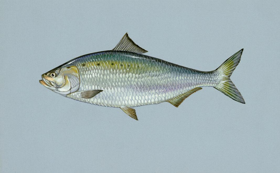 WA Fish Finder - Fish Species List